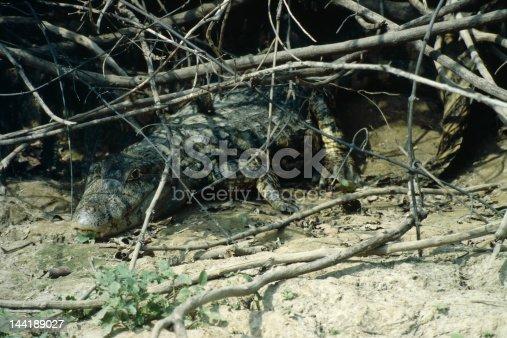 istock Crocodile - Amazon Basin 144189027
