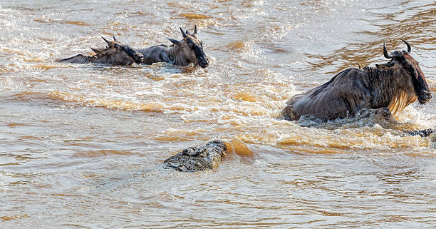 Crocodile Attack - Great wildebeest migration in Kenya The annual Great Migration of wildebeest and other grazing herbivores across the Serengeti-Mara ecosystem is one of the greatest spectacles in the natural world. About 200 000 zebra and 500 000 Thomson's gazelle ...and one-and-a-half million wildebeest partake to this journey ! wildebeest running stock pictures, royalty-free photos & images