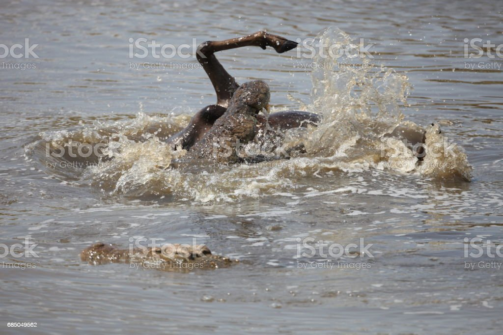 Crocodile attack wildebeest in the Mara river stock photo