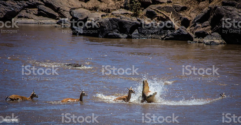 Crocodile attacks Thomson's gazelle stock photo