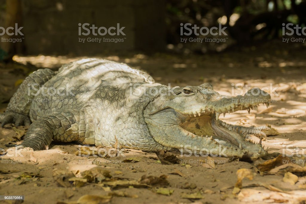 A crocodile basks in the heat of Gambia, West Africa stock photo