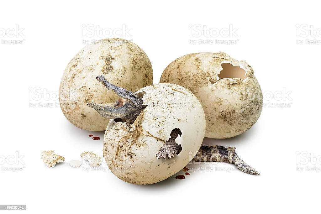 Crocodile brood from egg stock photo