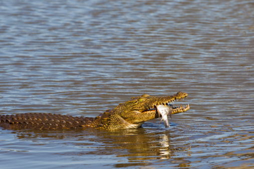 Crocodile Catches A Fish Stock Photo - Download Image Now