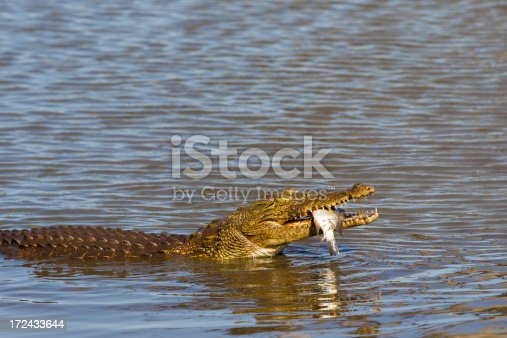Crocodile Catches A Fish Stock Photo & More Pictures of Africa