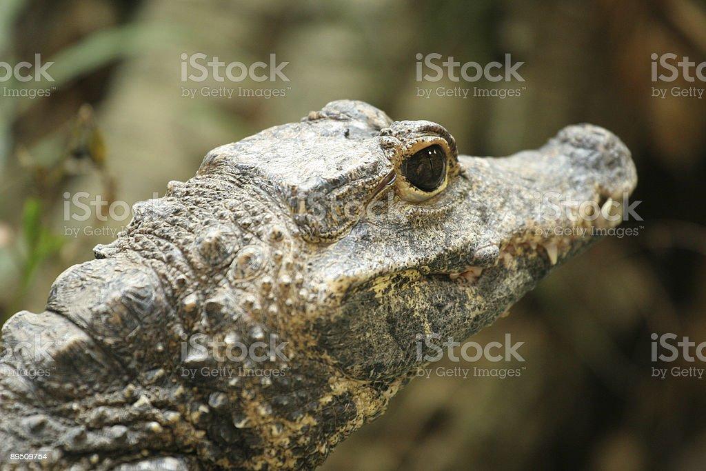 crocodile closeup royalty-free stock photo