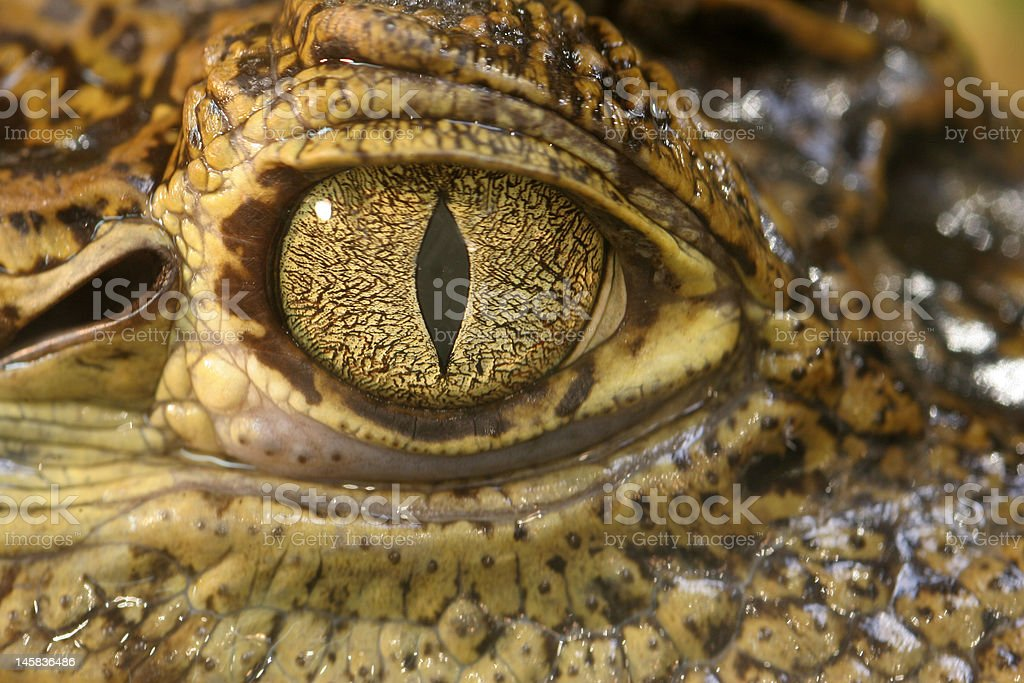 Crocodile Eye royalty-free stock photo
