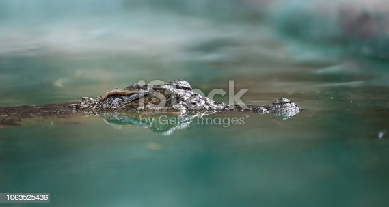 istock crocodile face and the reflection in the water 1063525436
