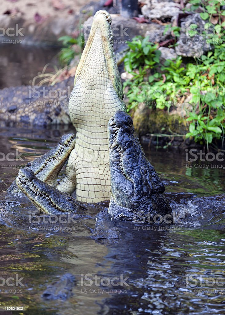 Crocodile Fighting royalty-free stock photo