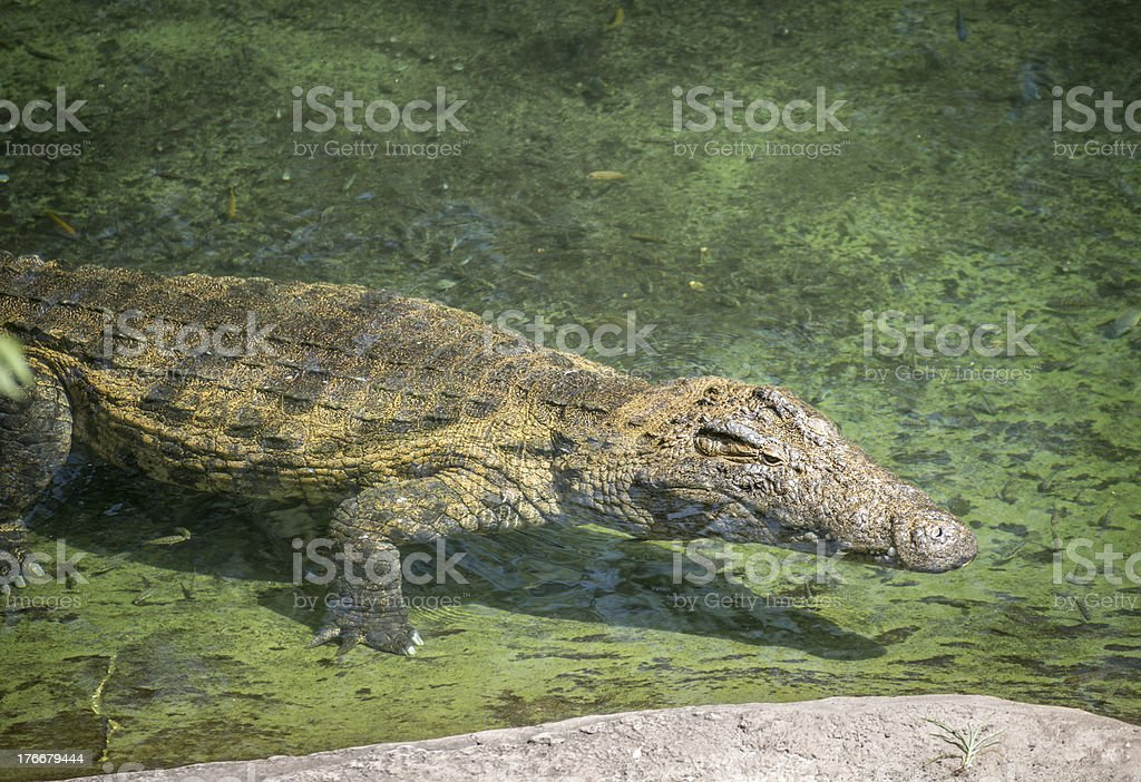 Crocodile Floating in Swallow Water royalty-free stock photo