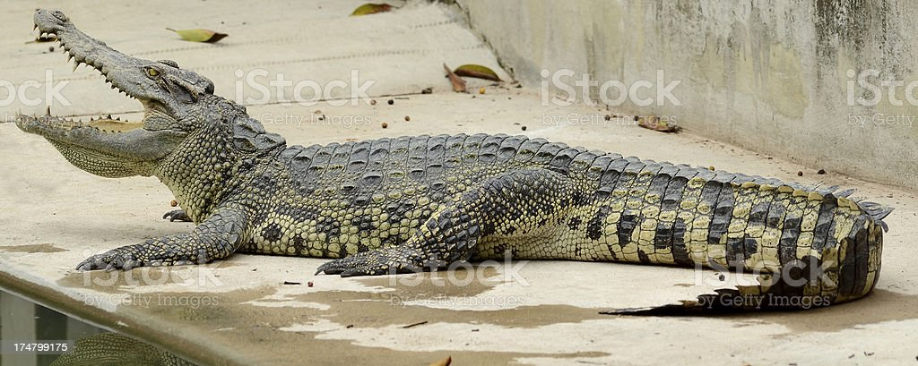 Crocodile full length and open mouth stock photo