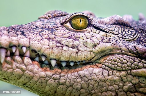 istock crocodile head isolated close up on a green background 1204016813
