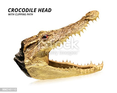 istock Crocodile head isolated on white background. Taxidermy or stuffed animal. ( Clipping path ) 996245110