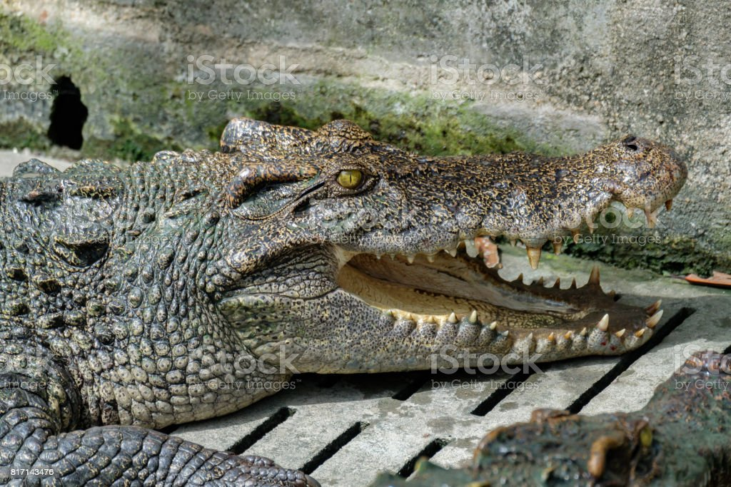 Crocodile head opens its mouth and rests in the Crocodiles farm