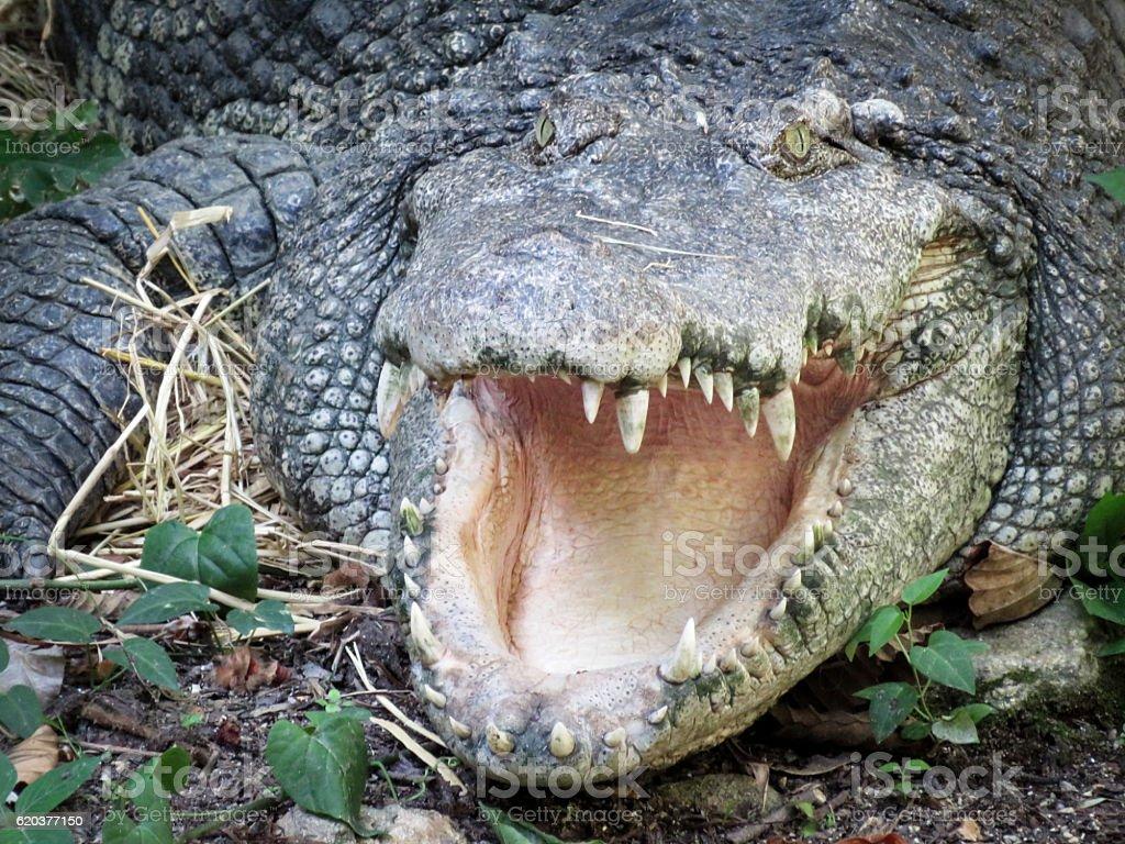 Cabeça de crocodilo foto de stock royalty-free