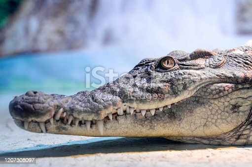 istock crocodile head with toothy mouth and green eye closeup 1207308097