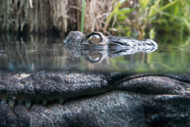 Crocodile hiding underwater stock photo