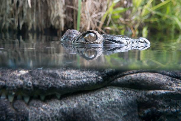 Crocodile hiding underwater - Photo