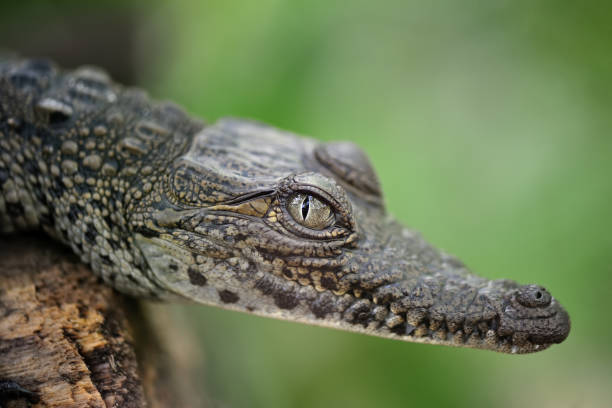 crocodile in costa rica close-up of a young crocodile caiman stock pictures, royalty-free photos & images
