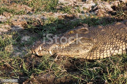 istock Crocodile in Erindi Private Game Reserve in Nambia 1003425802