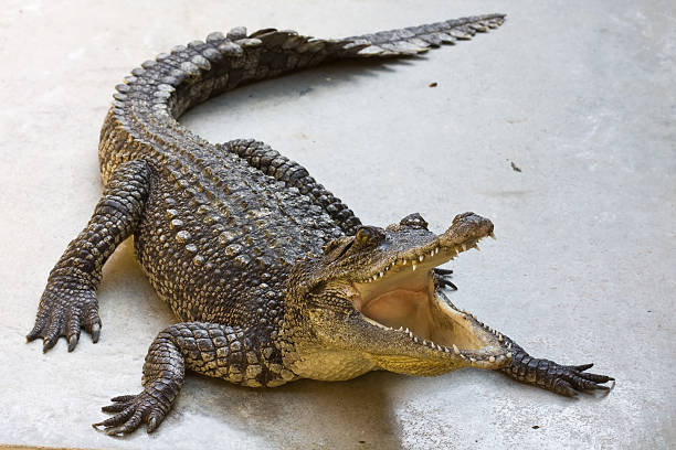 La ferme de crocodiles en Thaïlande. - Photo
