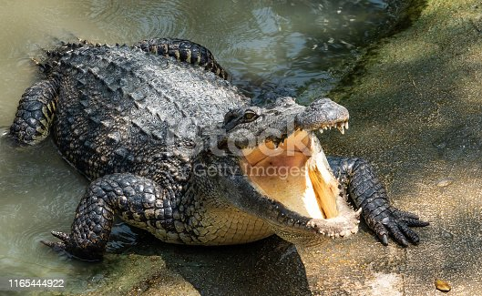 istock Crocodile in the swamp 1165444922