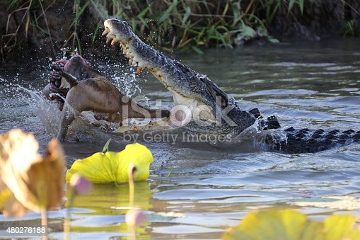 Crocodile eating it's catch (small Kangaroo) in a Billabong - Northern Territory Australia. This huge crocodile scared other smaller crocs away to devour it's catch. Camera Canon 5D MK3 28-300mm L series lens