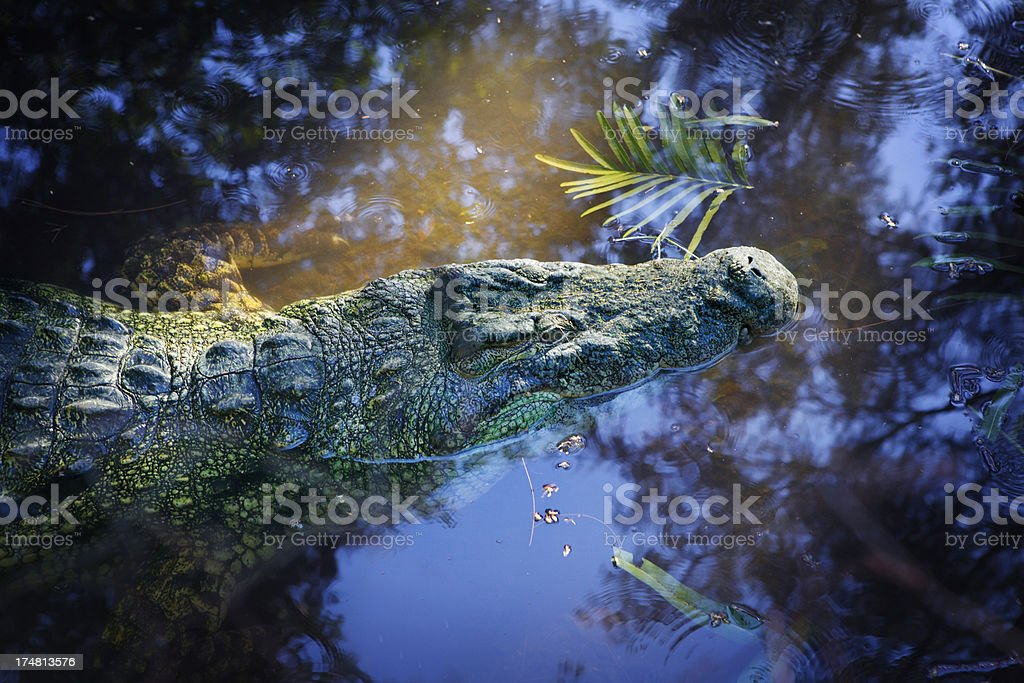 Crocodile in the water royalty-free stock photo
