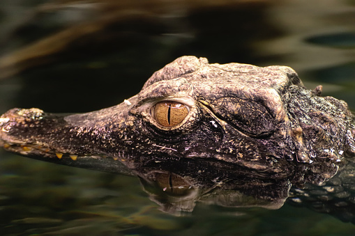 Crocodile In Water With Water Reflection Stock Photo & More Pictures of Alertness