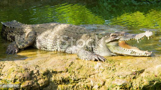 Crocodile opening the mouth resting on the waterfall