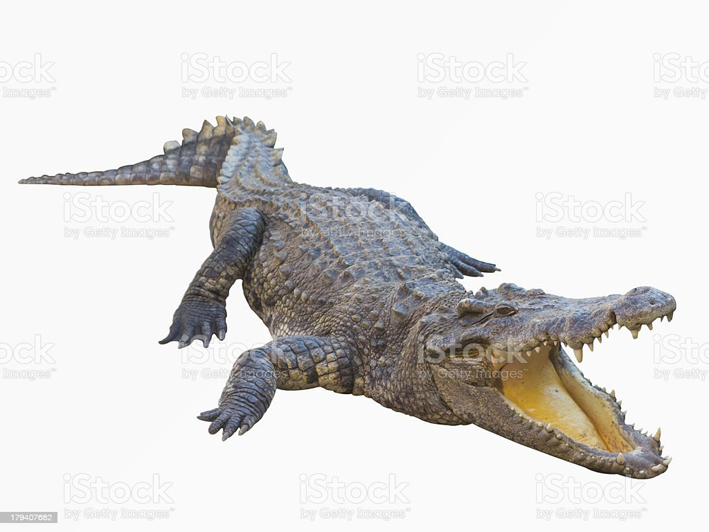 Crocodile isolated on white background with clipping path royalty-free stock photo