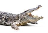 Closeup of crocodile isolated on white background