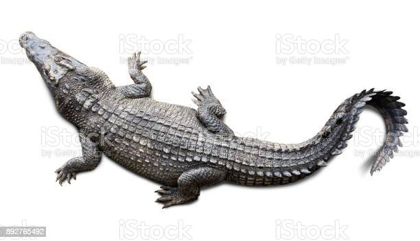 Crocodile isolated picture id892765492?b=1&k=6&m=892765492&s=612x612&h=palhpibrxzuiophkc6m3w88vno9lvyhhfqgksfjqhou=