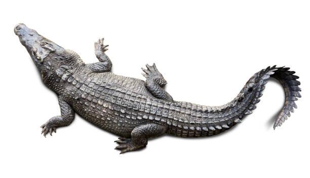 Crocodile isolé - Photo