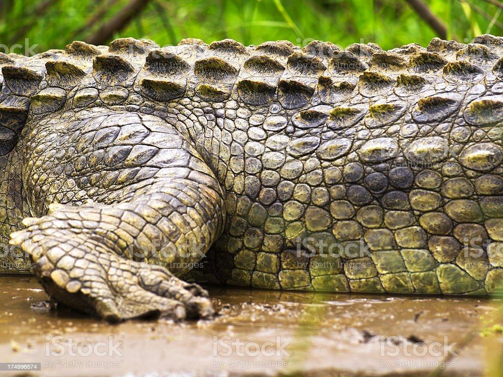 Crocodile leg stock photo