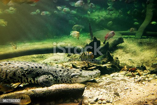 Close-up of a crocodile on the bottom of the river. While lying motionless, fishes swim around it.
