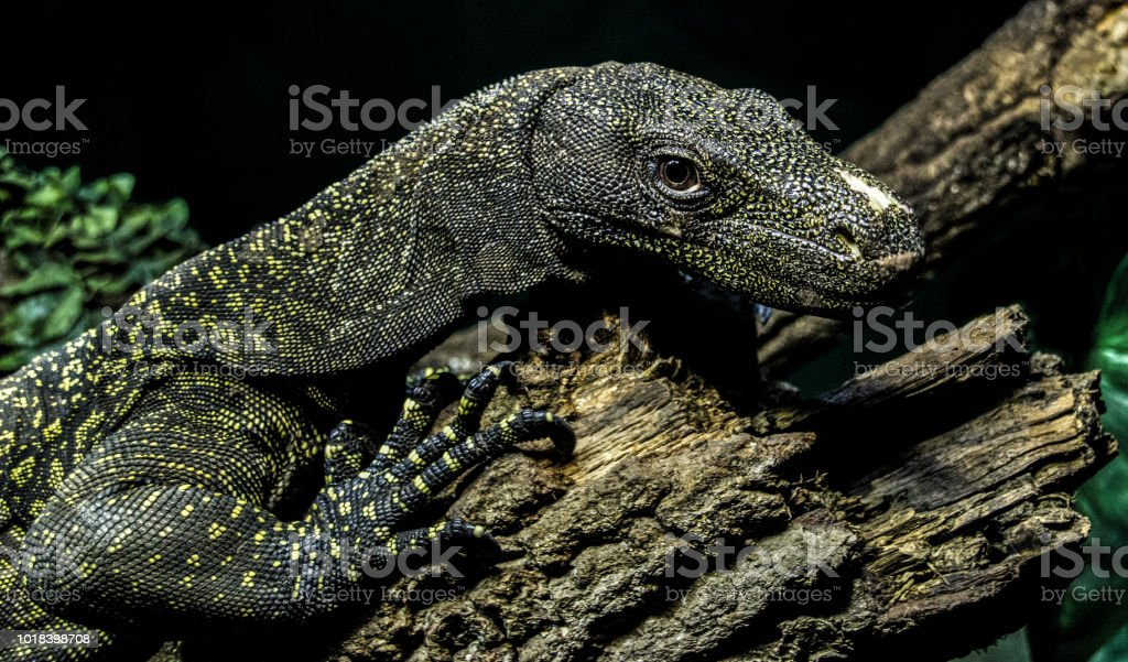 「crocodile monitor」の画像検索結果