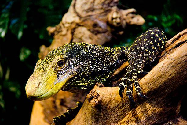crocodile monitor - varanus salvadorii - cursed stock pictures, royalty-free photos & images