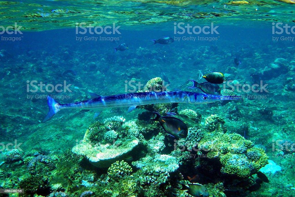 crocodile needlefish stock photo