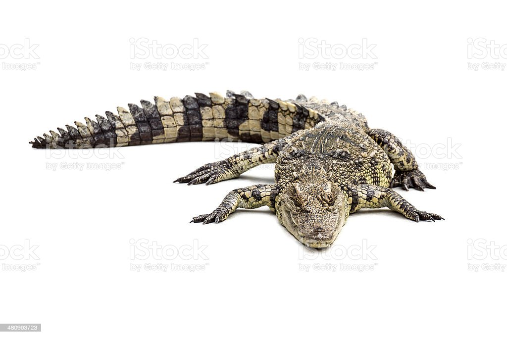 Crocodile on the white floor stock photo
