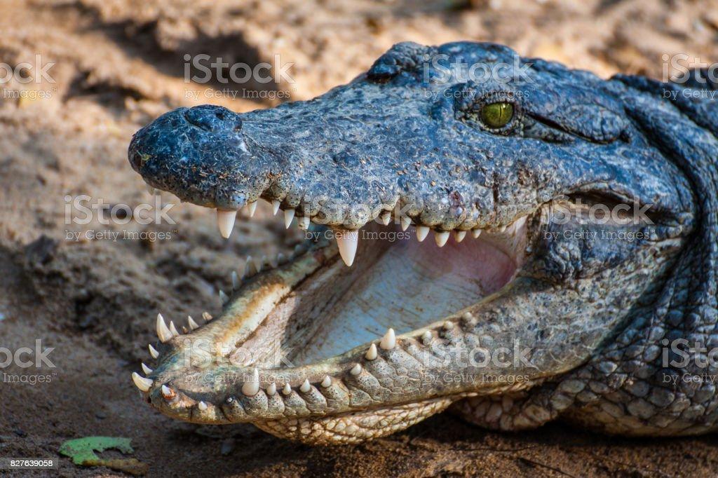 Crocodile or Alligator stock photo