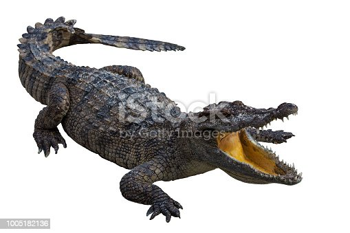 Crocodile open mouth on white background.