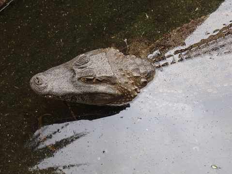 Close-up of an adult caiman in the Amazon, Bolivia.