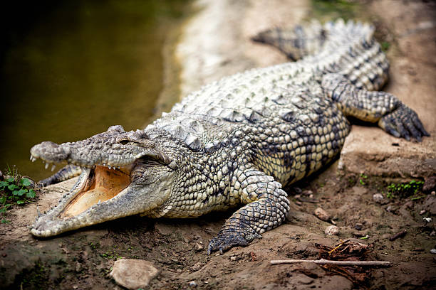 Crocodile - Photo