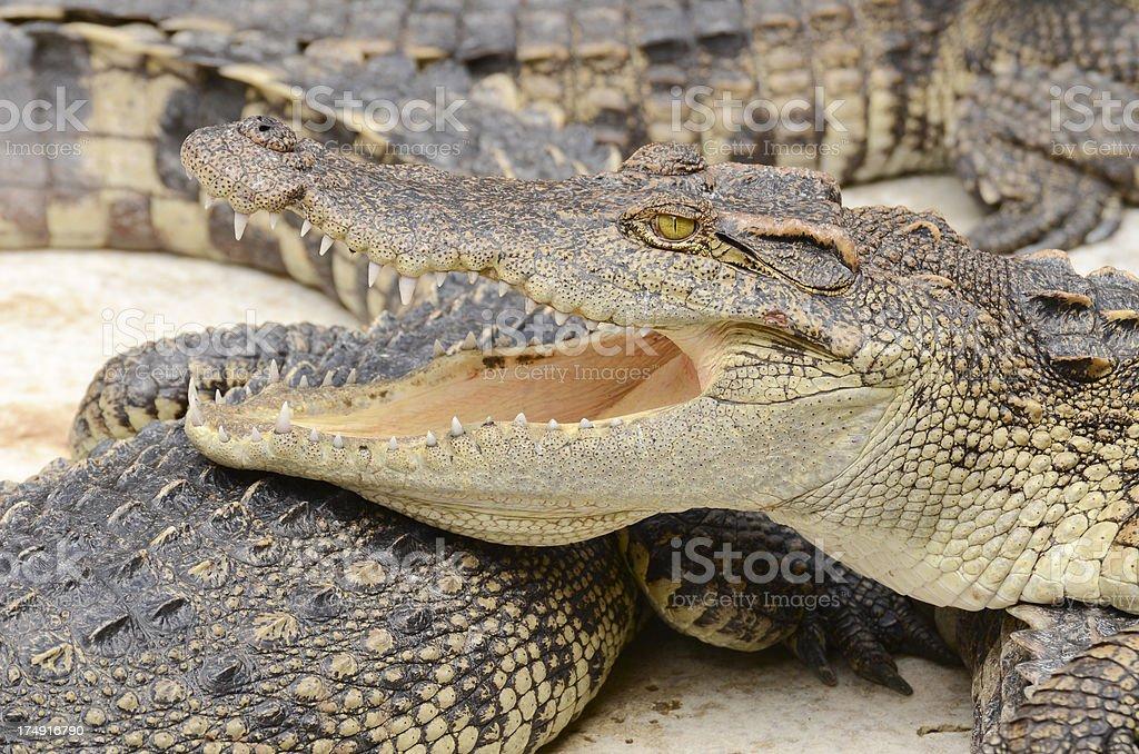 Crocodile. royalty-free stock photo
