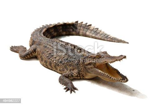 Crocodile on a white background.