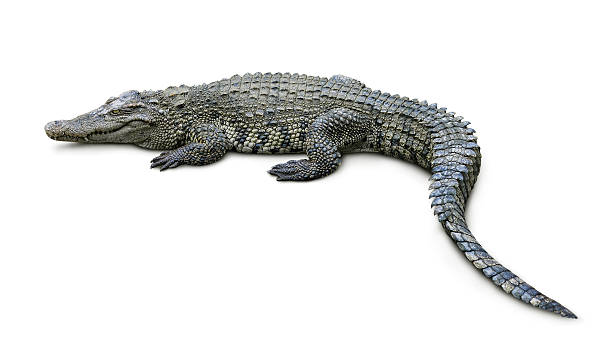 Crocodile Crocodile isolated on white caiman stock pictures, royalty-free photos & images