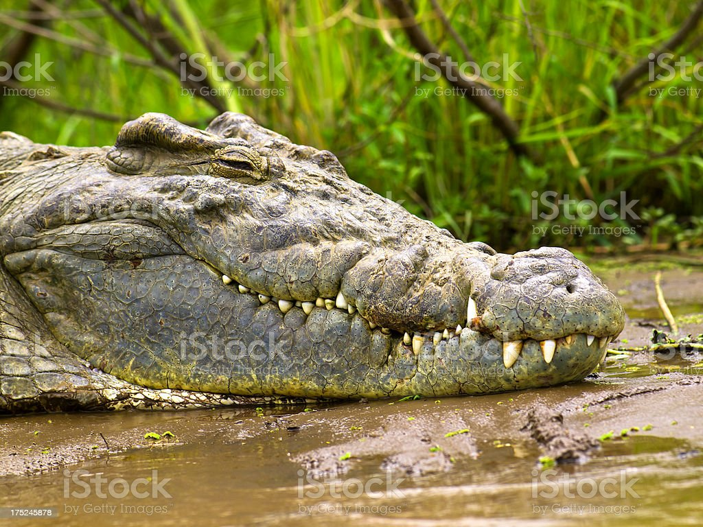 Crocodile portrait stock photo