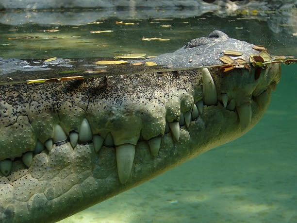 Profil de Crocodile - Photo