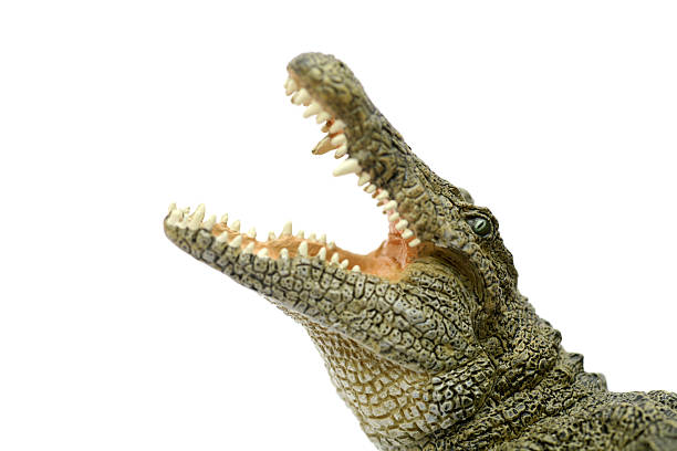 Crocodile montrant gueule - Photo