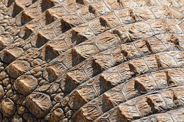 Crocodile Skin Pattern stock photo